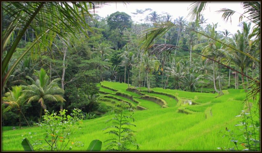 Rice terraces - Ubud - Bali