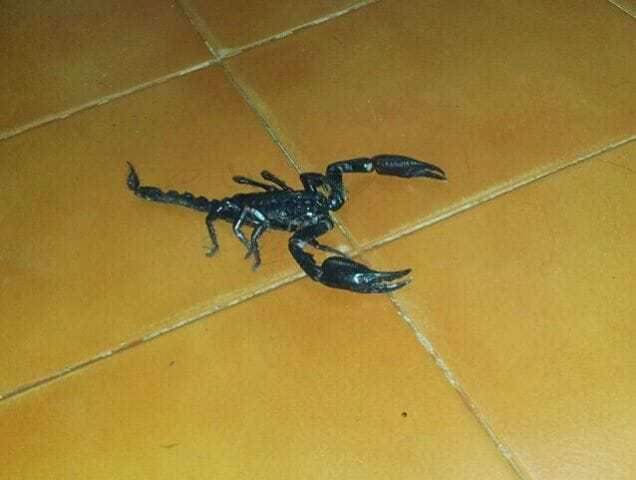 scorpion in my house