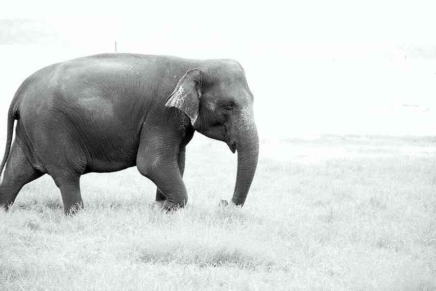 SRI-LANKA.KAUDULLA-NATIONAL-PARK-ELEPHANT-BLACK-AND-WHITE-PICTURE