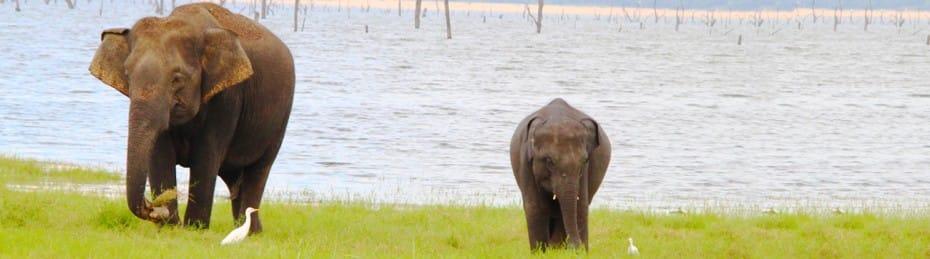 SRI LANKA FEATURED IMAGE-KAUDULLA-NATIONAL-PARK-ELEPHANTS-IN-THE-WILD