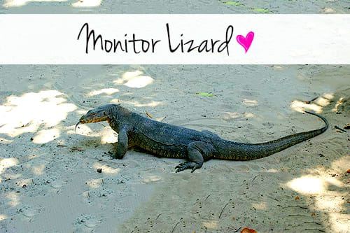 monitor lizard similar to the one we saw in galle