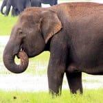sri lanka, images, elephants-in-the-wild-kadulla-national-park
