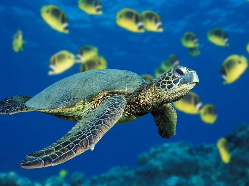 Koh-tao-travel-guide-scuba-diving-certification-keep-calm-and-travel-blog-sea-turtle