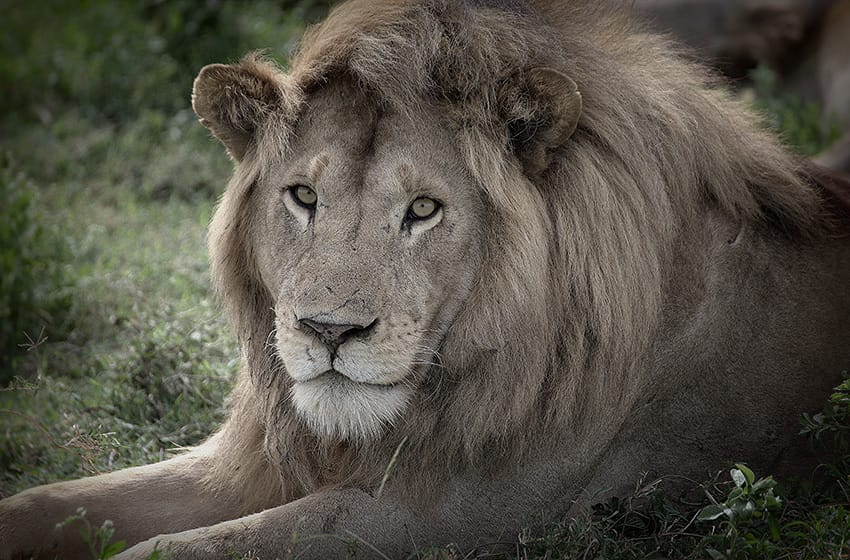 africa-travel-tips-tanzania- serengeti-lion