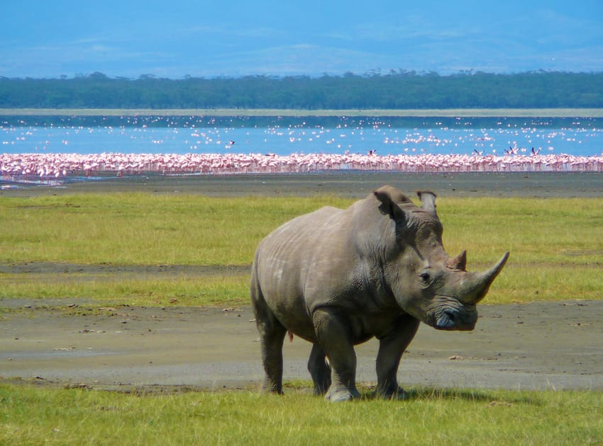 White_Rhino_in_Lake_Nakuru_2