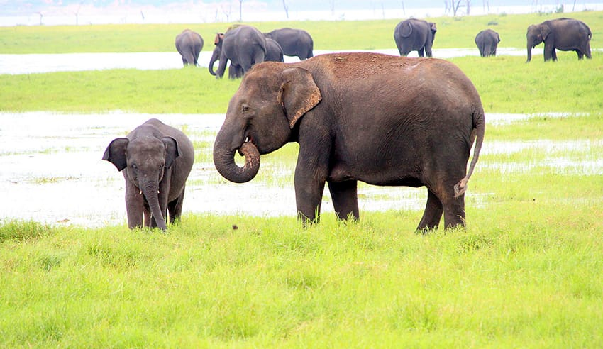 sri_lanka_ELEFANT_and_BABY-