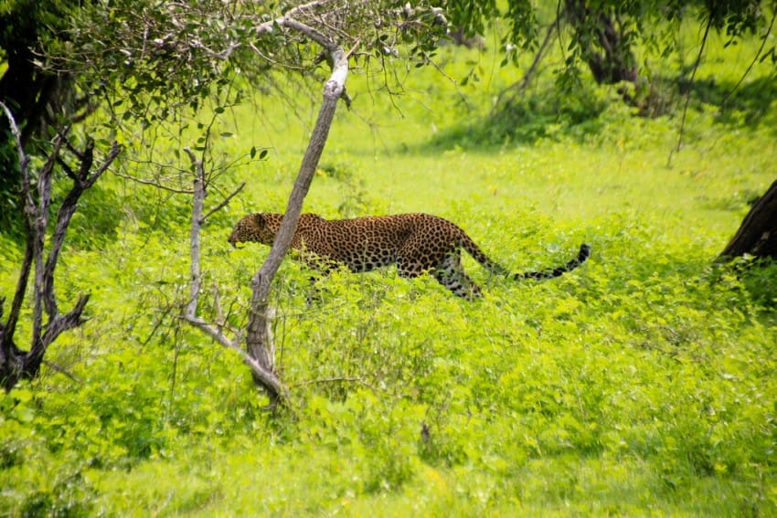 leopards_yala_natural_park_sri_lanka_what_to_do