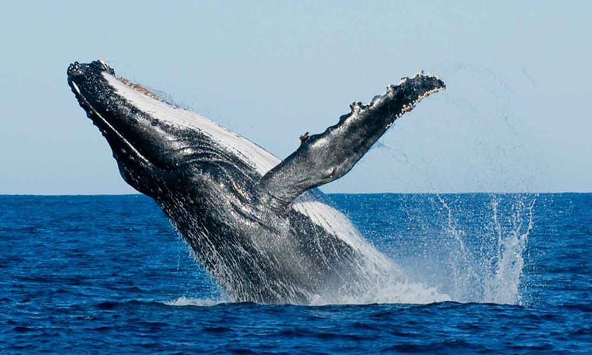 mirissa-whale-watching-sri_lanka-things-to-do-what-to-see