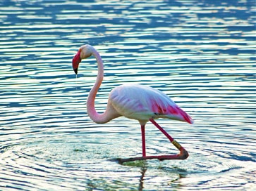 sardinia-cagliari-things-to-do-molentargius-pond-pink-flamingos
