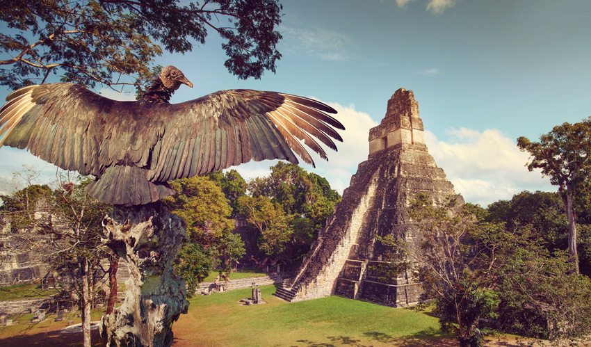GUATEMALA-Neophron-looking-at-the-ancient-ruins-of-the-Mayan-city-of-Tikal.-Central-America,-Guatemala-holidays