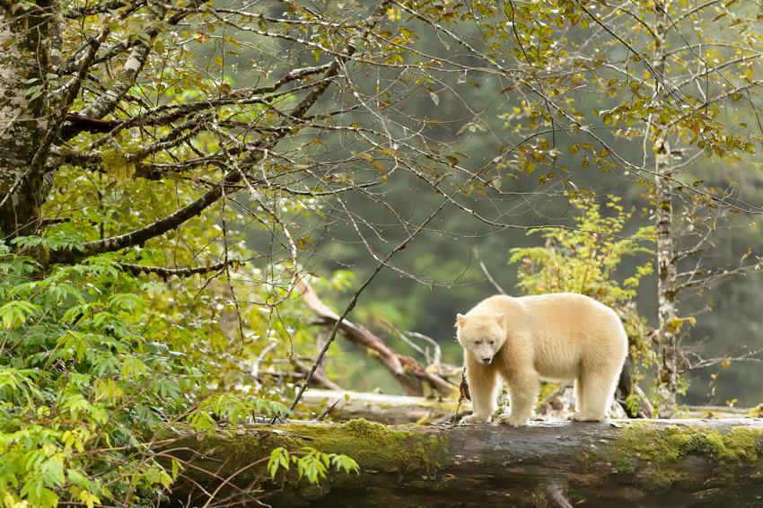 Canada-Spirit-Bear-(Ursus-americanus-kermodei)-In-Green-Forest