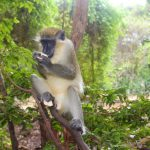 barbados-things-to-do-nature-wildlife-monkey
