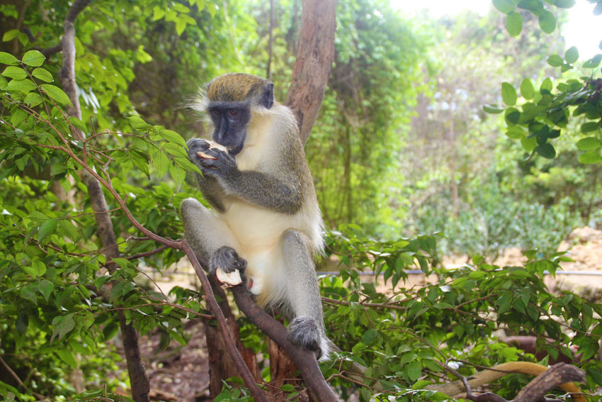 barbados-things-to-do-nature-wildlife-monkey