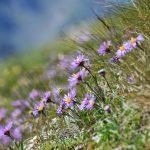 Alta-Via-dei-Monzoni-flowers