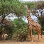 giraffe-family-friendly-safaris-for-kids