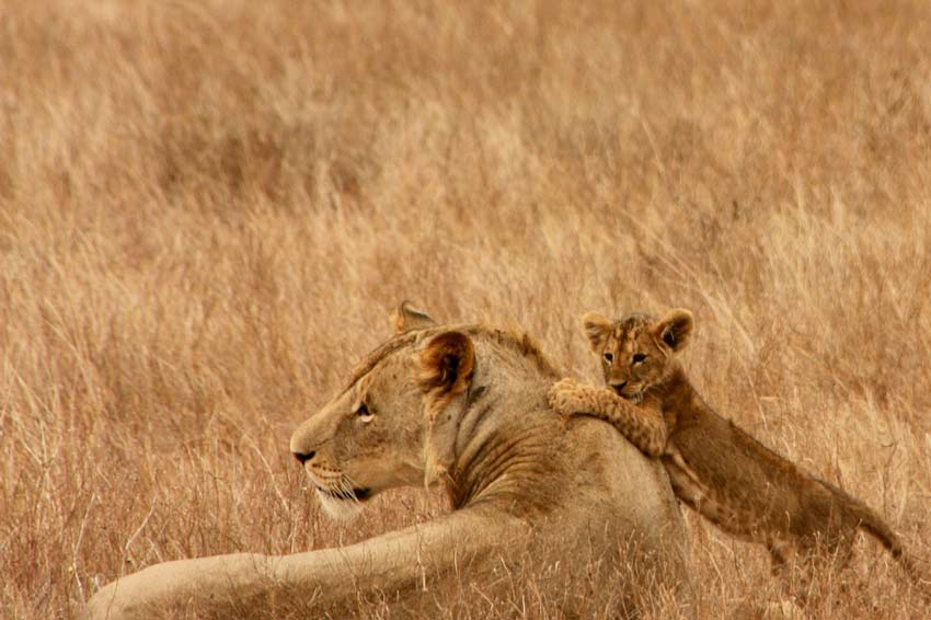 lions-family-safaris-safari-with-kids