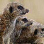 meerkat-family-frienfly-safaris-safaris-for-kids