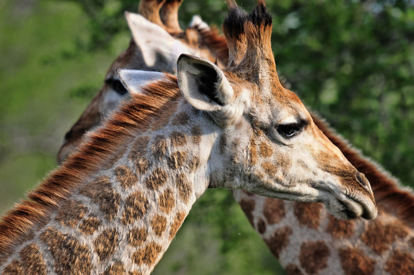 where-to-spot-giraffes-in-africa-kruger-national-park-south-Africa